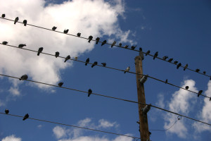 Birds sitting on powerlines. EMF source